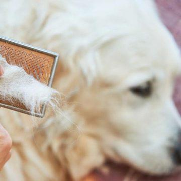 Caída del pelo en los perros ¿Cuál es la razón?