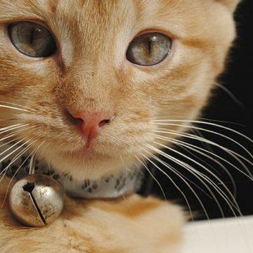 Los cascabeles son malos para los gatos ¿Por qué?