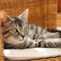 Gatos domésticos en hogares infectados por coronavirus deben de mantenerse dentro, según estudios