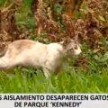 COVID-19 en Perú: cantidad de gatos disminuye en el parque Kennedy de Miraflores ¿es para preocuparse?