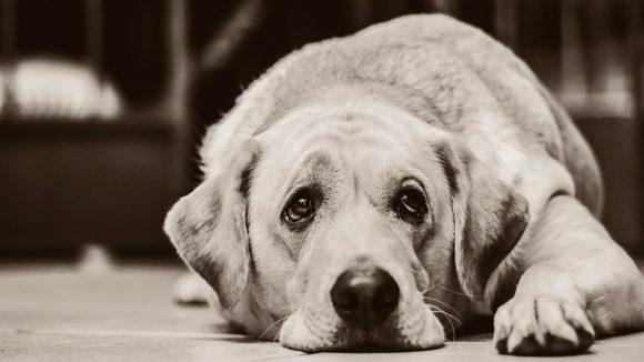 Depresión en las mascotas: ¿aumenta por cuarentena?