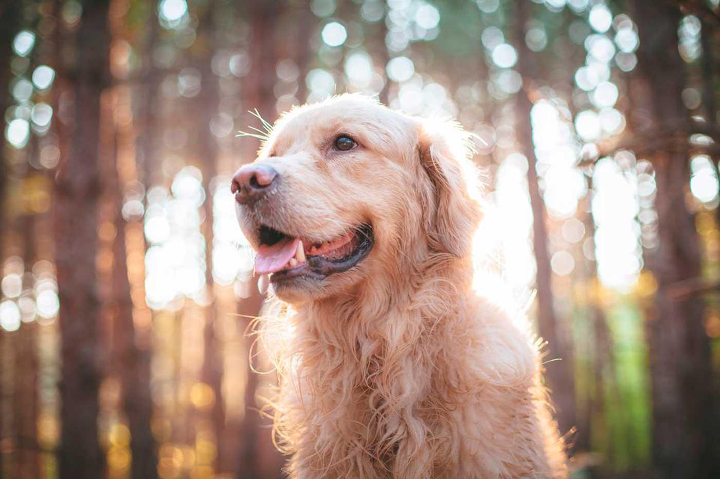 ¿Pueden los perros pequeños vivir más años que los grandes?