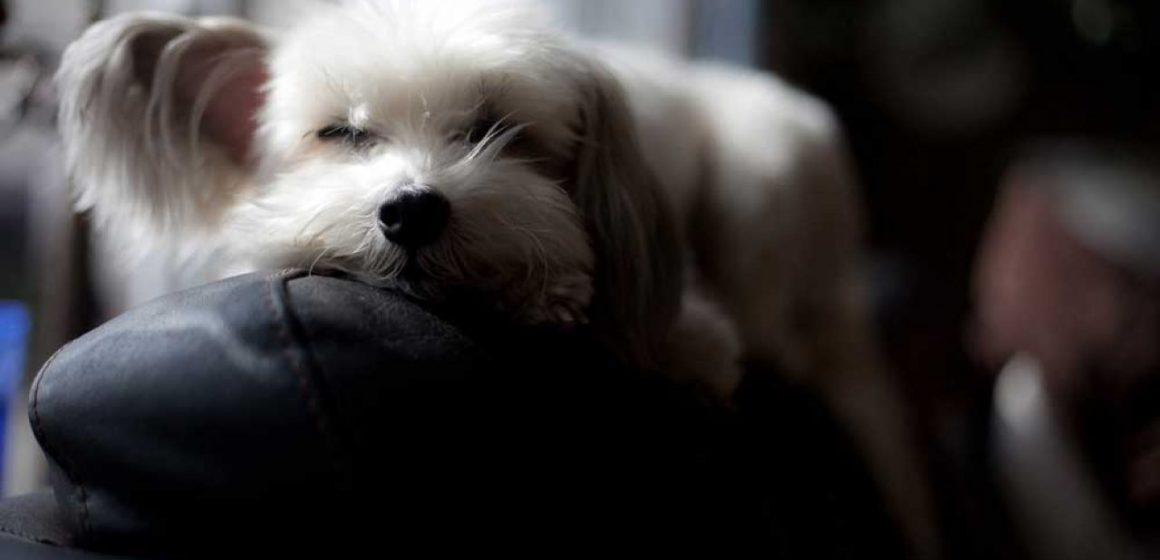 ¿Por qué los perros caminan en círculos antes de descansar?