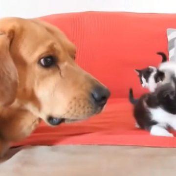 YouTube: perro cuida a cuatro gatitos después de que fueran abandonados