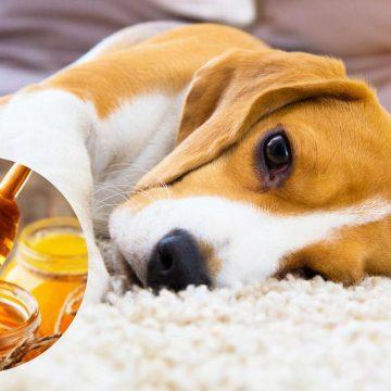 ¿Cuáles son los beneficios de la miel en un perro?