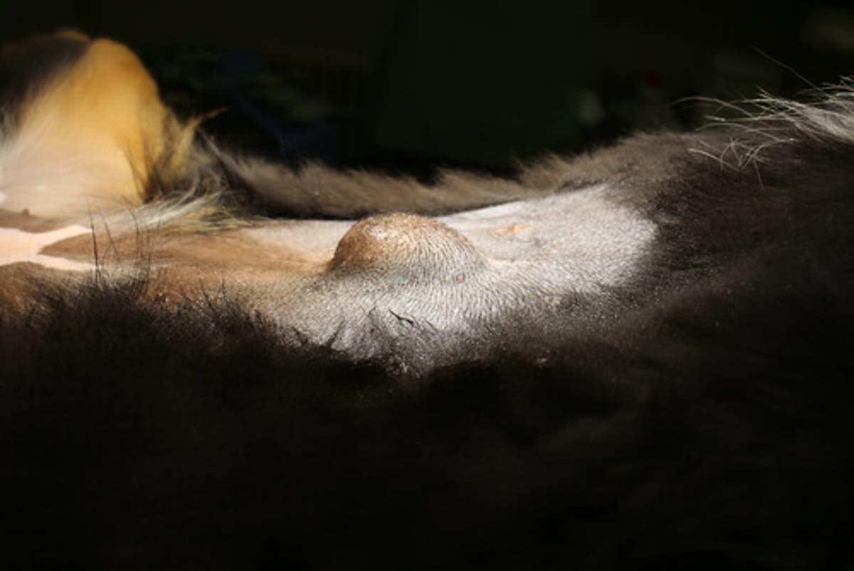 ¿Qué son los tumores grasos y cómo afectan a tu perro?