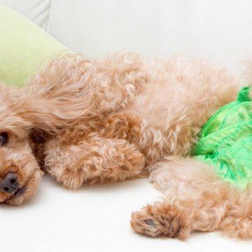 ¿Cómo enfrentar la menstruación en nuestras mascotas?