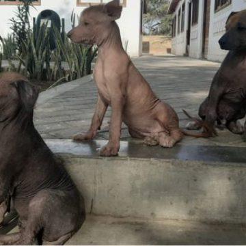 Museo Túcume en Lambayeque se convierte en albergue de perros peruanos sin pelo