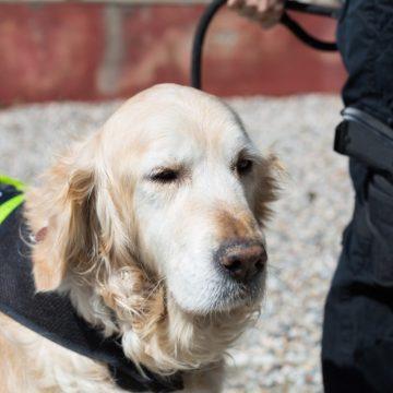 Chile: Entrenan perros rastreadores de Covid-19 para ayudar a reabrir espacios públicos
