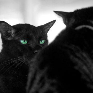 ¿Estás pensando en llevar otro gato a casa? Entonces este artículo es para ti