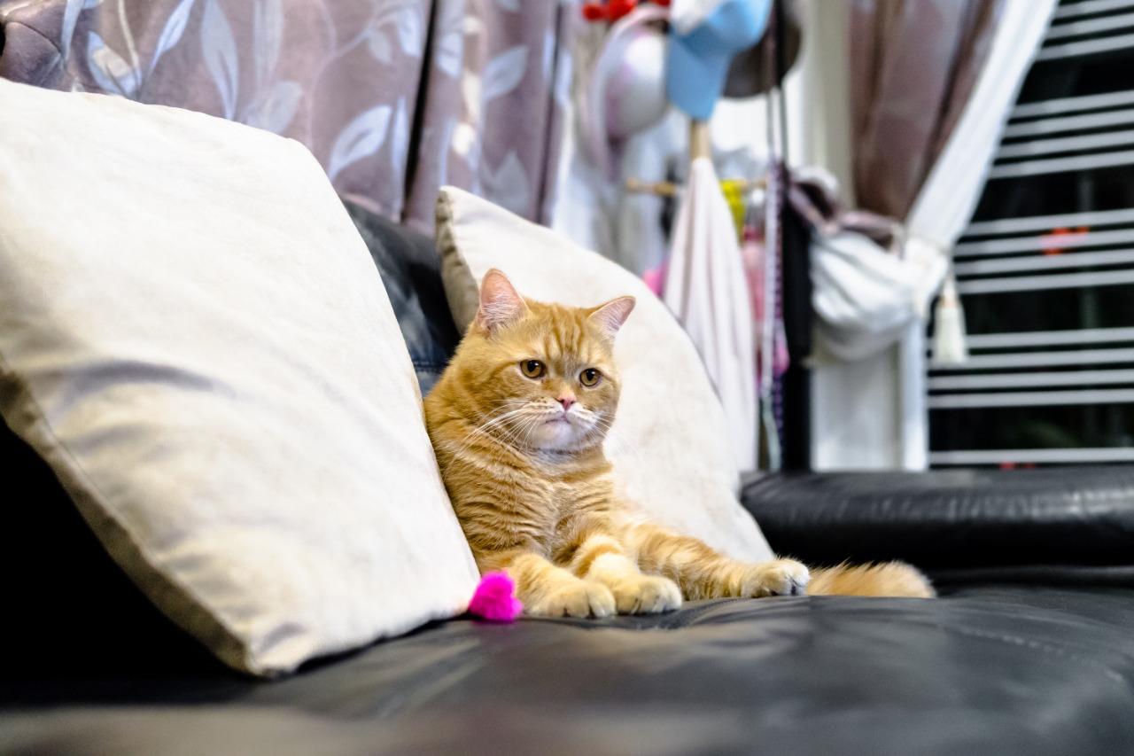 Estás pensando en llevar otro gato a casa entonces este artículo es para ti 2