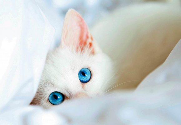 4 cosas que debes saber sobre los gatos con ojos azules