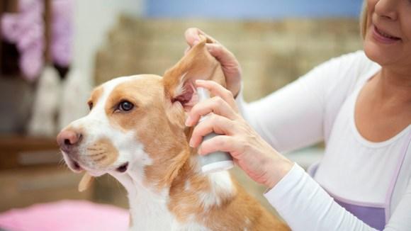¿Por qué los perros de orejas caídas requieren una limpieza más frecuente?