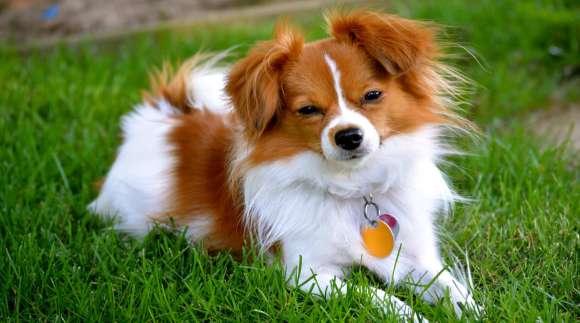 Cinco cuidados básicos para perros pequeños