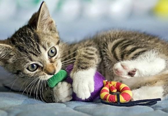 ¡Cinco consejos para mantener ocupado a tu gatito!
