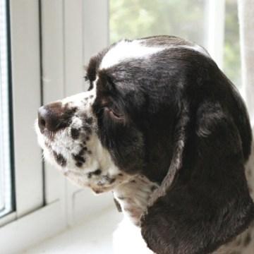 5 formas de ayudar a su perro a adaptarse al tiempo que pasa solo